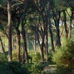 Sanlúcar pinar de Algaida - pine forest - Pinienwald