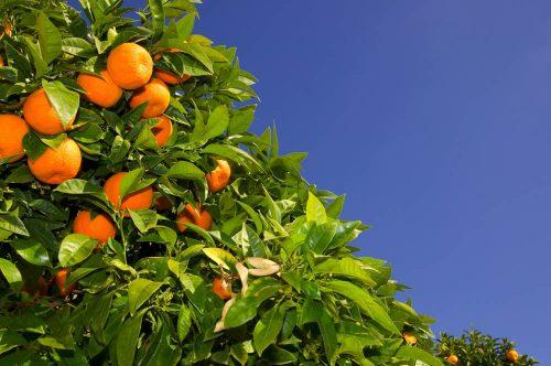 Costa de la Luz naranjo - orange tree - Orangenbaum