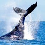 avistamiento de ballenas en el estrecho de Tarifa, whale watching, Walbeobachtung
